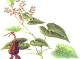 Bài thuốc đông y giúp đen tóc xanh râu từ cây hà thủ ô