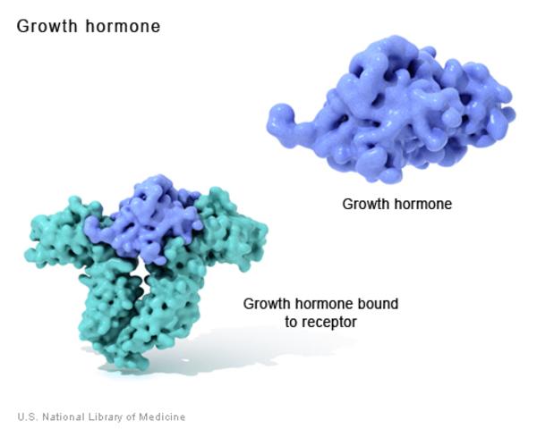 Vai trò của hormon tăng trưởng đối với cơ thể